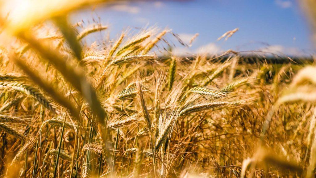 Vegan leben verbraucht weniger Getreide. Wir könnten gemeinsam den Welthunger besiegen.
