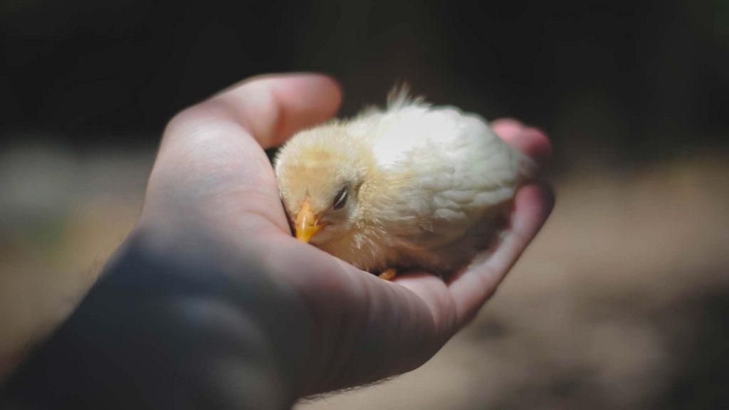 Der Veganismus rettet unzählige Tierleben.