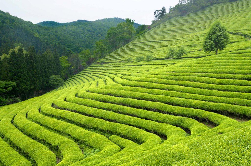 Grüntee wächst am besten im tropischen oder subtropischen Hochland. Die größten Grünteeanbaugebiete befinden sich in China und Japan.