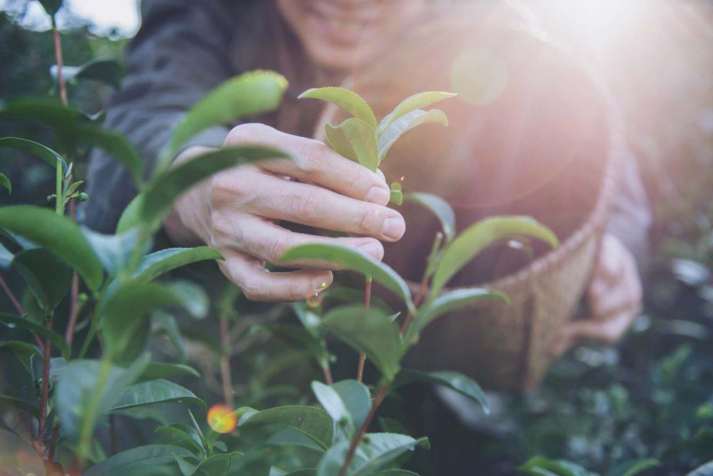 Grüntee Ernte in Thailand. Grüntee solltest du in Bio-Qualität kaufen.