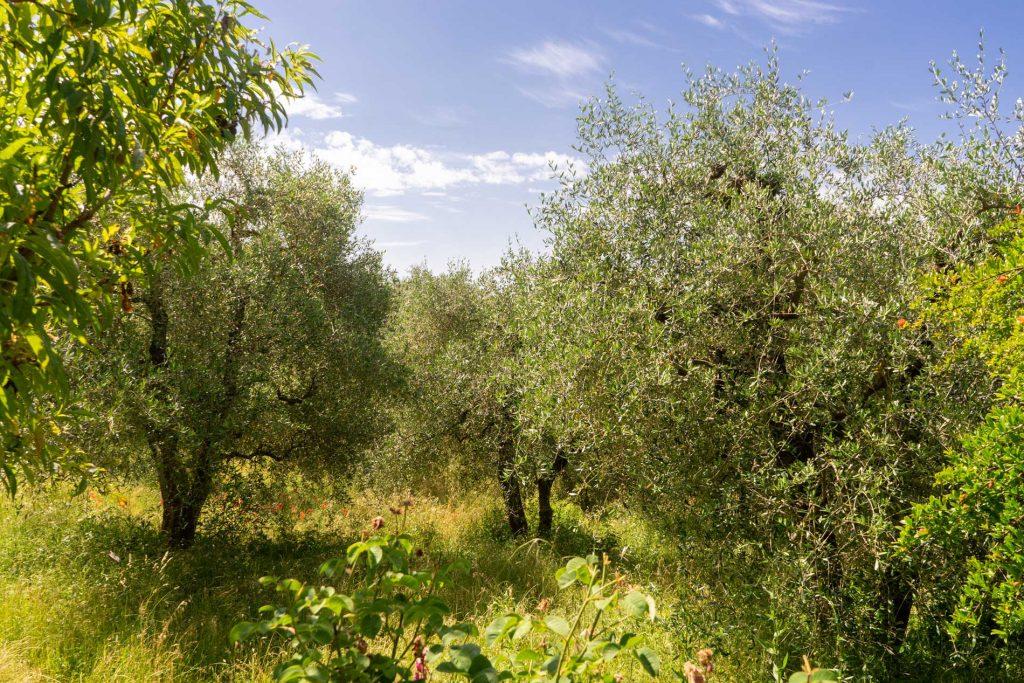 Olivenhain in der Toskana